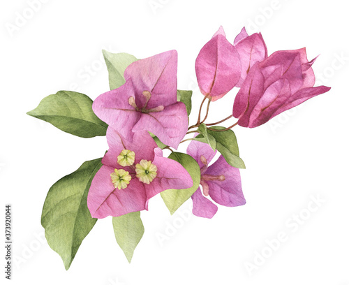 A pink bougainvillaea arrangement hand painted in watercolor isolated on a white background Fototapete