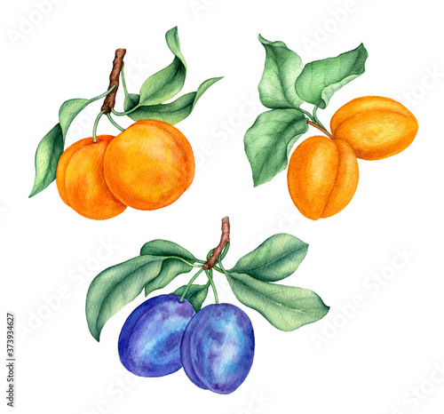 Cuadros en Lienzo Vintage watercolor collection of peaches, apricots and plums botanical illustrat