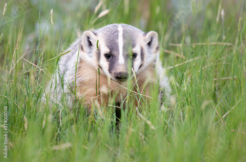 Photo Badger young