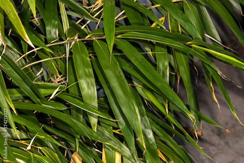 Fotografiet Japanese Arrow Bamboo (Pseudosasa japonica)