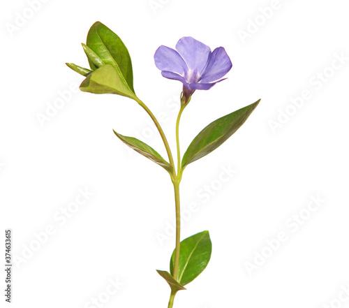 Fotografia Blue flower of periwinkle isolated on white, Vinca minor