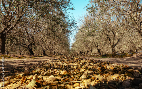 Canvas almond trees in autumn during harvest