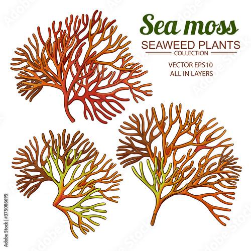Photo sea moss set