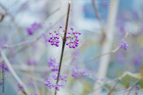 Fototapeta Closeup of Callicarpa Mollis in a field under the sunlight with a blurry backgro