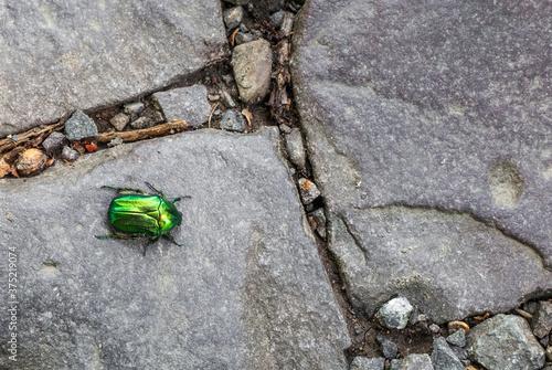 Valokuva Green rose chafer beetle crawling along cobbled road