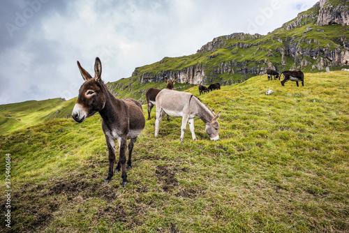 Slika na platnu Donkeys graze on an alpine pasture in the Dolomites - Donkey portrait
