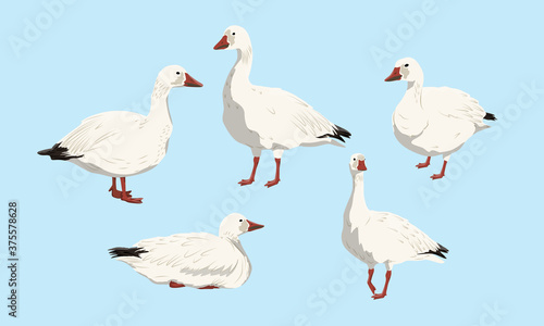 Tablou Canvas Collection of snow geese
