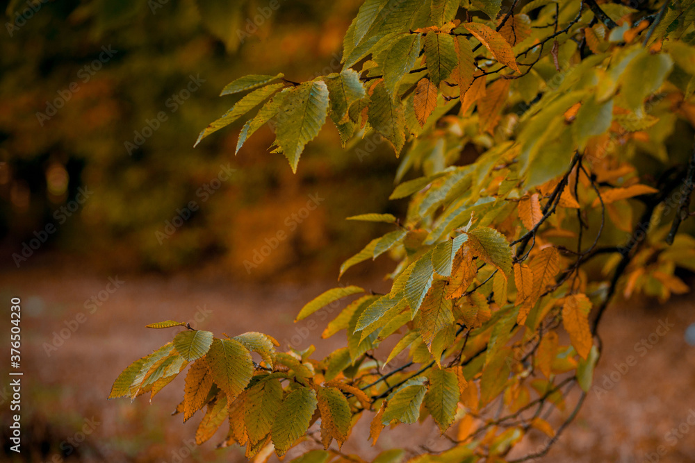 Autumnal leaves in blurred background. Autumnal Park. Autumn Trees and Leaves - obrazy, fototapety, plakaty