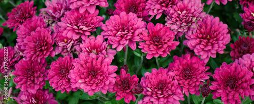 Fotografering Purple chrysanthemum flowers close up
