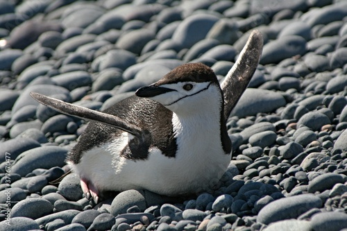 Canvas Print Chinstrap penquin / Pygoscelis antracticus / It is up to 68 centimeters tall, weighing about 4