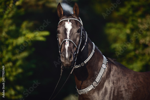 portrait of beautiful black akhal-teke horse with white line on forehead with tu Fototapet