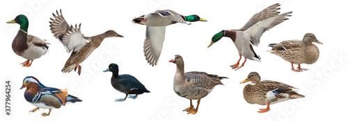 Valokuva isolated on white nine ducks