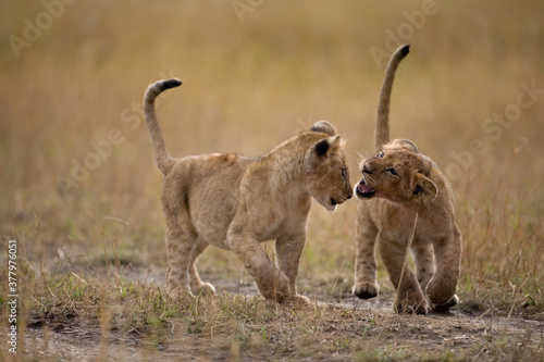 Fototapeta Lion Cubs, Masai Mara Game Reserve, Kenya