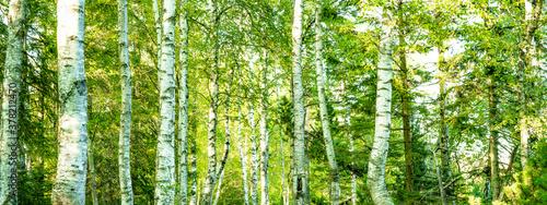 Photo Fresh green birch trees (Betulaceae ) in bright sunlight