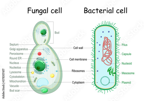 Stampa su Tela bacteria and fungal (yeast). comparison of cell structure.