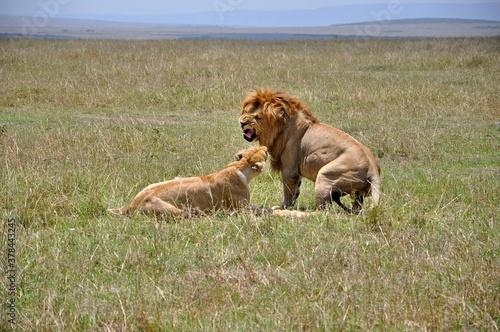 "Para lwów - ""kłótnia małżeńska"". Rezerwat Masai Mara (Kenia)"
