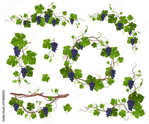 Fotografering Grapevine climbing plant with purple grapes set, flat vector illustration isolated on white background