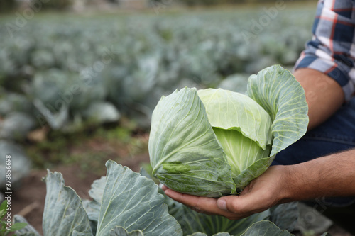 Fotografia Farmer with green cabbage in field, closeup view. Harvesting time