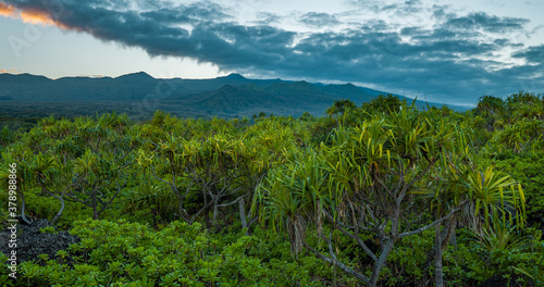Fototapeta Pu hala tree or thatch screwpine (Pandanus tectorius). Hawaii