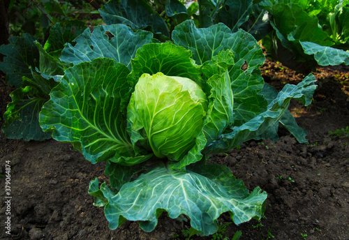 Fotografia A large head of cabbage grows on the ground