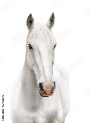 Fototapeta white horse isolated on white