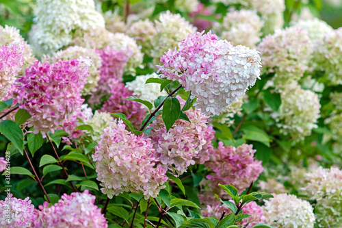 Flowering Hydrangea paniculata Vanille Fraise with pink and white blooms Fotobehang