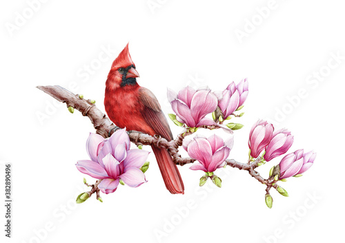 Fotomural Red cardinal bird with magnolia flowers watercolor illustration