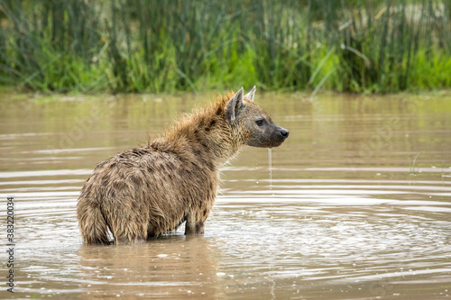 Fototapeta Adult hyena standing in water in Ngorongoro Crater in Tanzania