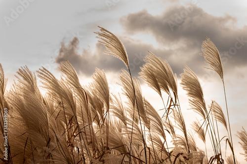 Fototapeta Pole trawy pampasowej