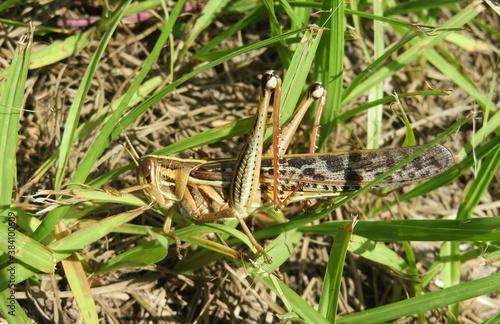 Fototapeta Tropical grasshopper in garden