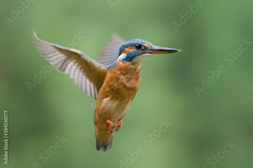 Canvas Print Common European Kingfisher (Alcedo atthis)  in flight on a green background isolated