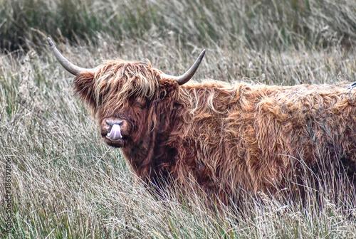 Carta da parati highland cow with horns cheeky