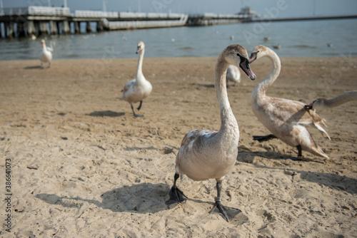 dzikie młode łabędzie na plaży Sopocie, Polska