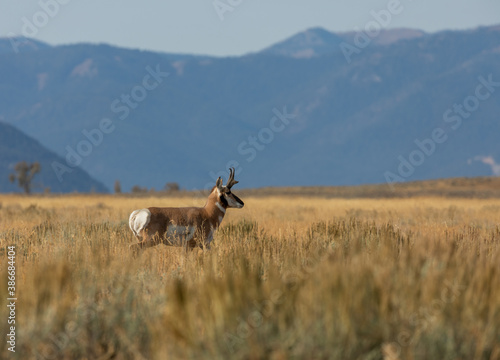 Canvas Print Pronghorn Antelope Buck in Grand Teton National Park Wyoming in Autumn