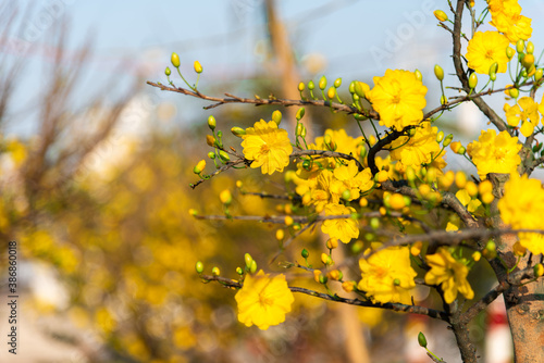 Canvas Print Yellow apricot blooming flower in Tet holiday