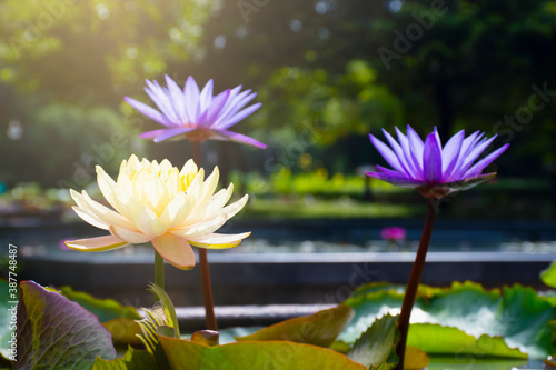 Canvas Print lotus flower blooming and blurred background