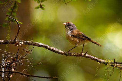 Fotografia Brown creeper - Mohoua novaeseelandiae - pipipi small bird from New Zealand, gre
