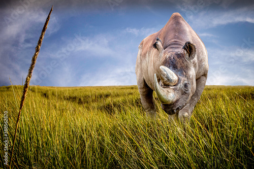 Canvas Print a black rhino standing in a field of grass on a sunny day