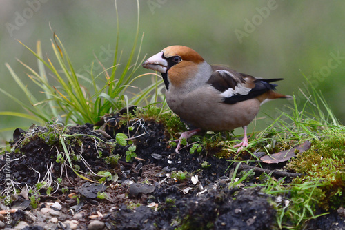 Fotografia Male Hawfinch (Coccothraustes coccothraustes) in Sierra Morena (Spain)
