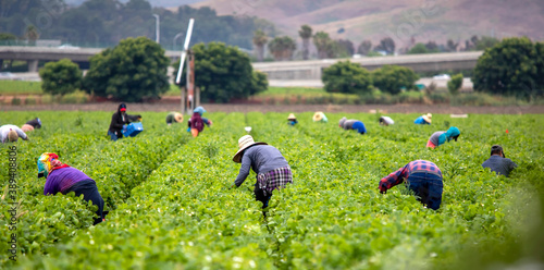 Canvas-taulu Migrant Workers picking strawberries in a Field