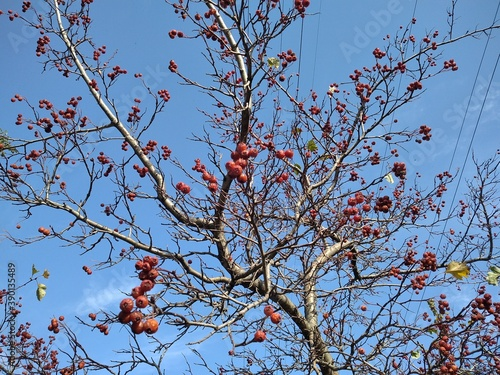 Canvas Red hawthorn berries on Moscow boulevard