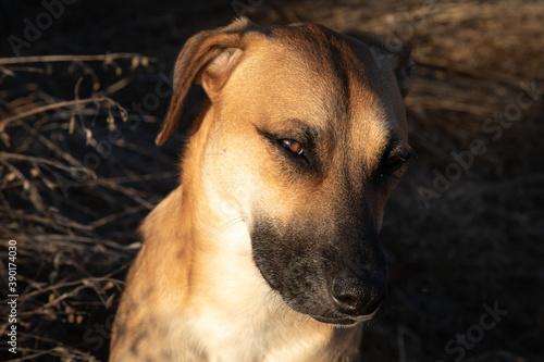 Fotografia Closeup shot of black mouth cur dog on blurred background