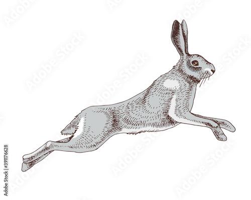 Obraz na plátne Hand drawn hare