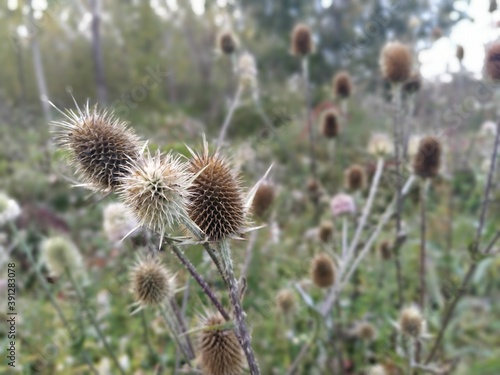 Fotografia The burdock plant clings with dry thorns to passing animals and people