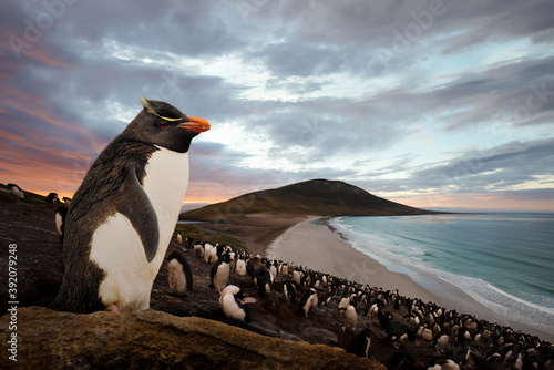 Canvas Print Close up of Southern rockhopper penguin standing on a rock at sunset