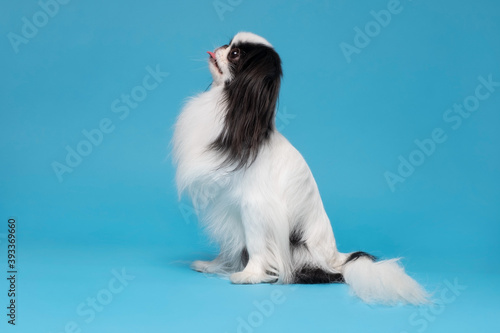 Fotografie, Obraz One dog Japanese Chin against blue background