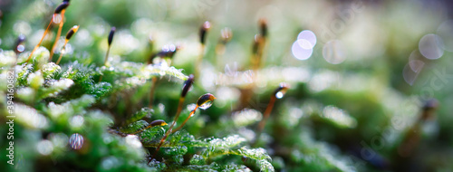 Fotografia Forest green and moist moss sporophytes macro texture, with rain drops on and bl