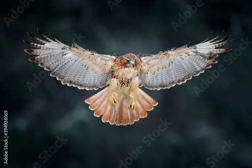 Canvas-taulu Flying bird of prey above the field meadow, Red-tailed hawk, Buteo jamaicensis, landing in the forest