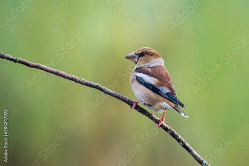Fotografiet hawfinch perched on a branch with green blur background