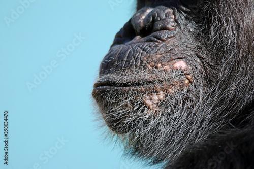 close up of a chimpanzee mouth Fototapet